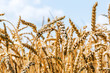 wheat-field-harvest-thumbnail